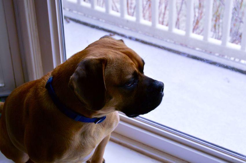 Beagle Color Dog My Dog Nikon D3200 Philosophy Pug Puggle Puppy Window