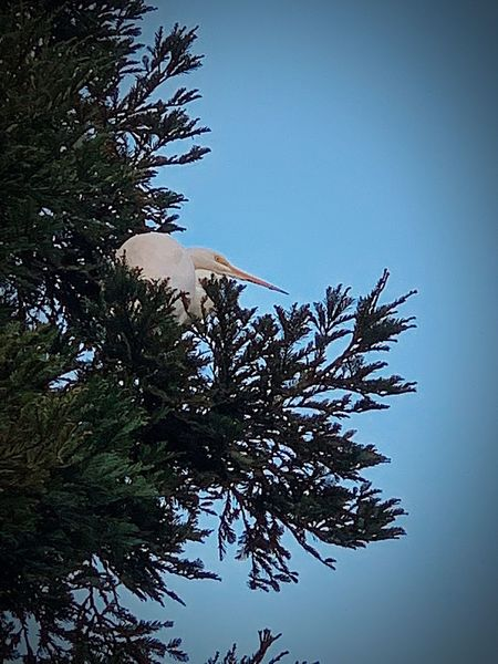 """""""The Lookout"""" I was walking along an open space trail in my hometown when this beautiful white crane flew out from the background and up into a redwood tree near me. I had my iPhone XS but even with the native 2x zoom I had to digitally zoom further to capture the big bird up in the branches so I lost some detail in the image but the experience of seeing and capturing the moment with this magnificent creature was thrilling. Nature Redwood Trees Fowl Birds Of EyeEm  Birds Bird White Crane Crane - Bird Tree Sky Beauty In Nature Nature No People"""