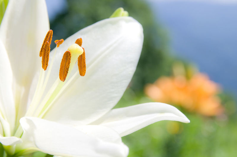 Close-Up Of White Lily Growing Outdoors