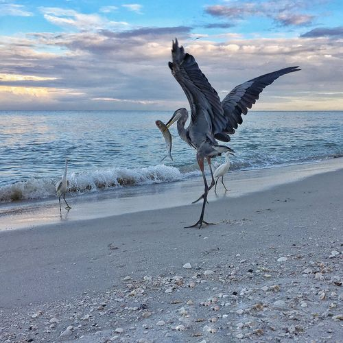 Great Blue Herons Spread Wings Animal Themes Animals In The Wild Heron Fishing Sea Horizon Over Water Beach Water Full Length One Animal Shore Side View Sky Zoology Cloud Tranquil Scene Nature Tranquility Cloud - Sky Beauty In Nature Wave Scenics