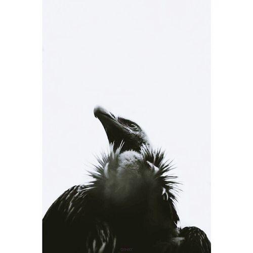 Griffon Vulture Birdofprey Scavenger Bird Wild Monochrome EyeEmStreetshots EyeEmBestPics Eyeemindia Eyem Best Shots EyeEm Nature Lover EyeEm Masterclass