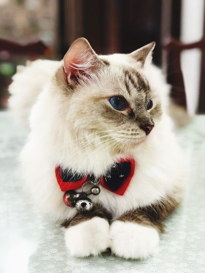 Cats empower our soul throught their undeniable cuteness Pets Domestic Domestic Animals Mammal Animal Themes Animal Vertebrate Domestic Cat Cat Feline Relaxation One Animal Pet Collar