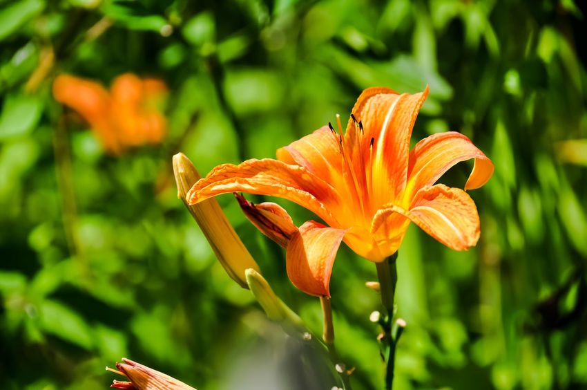 Flower Plant Growth Petal Flower Head Day Lily Lily Close-up Outdoors Day