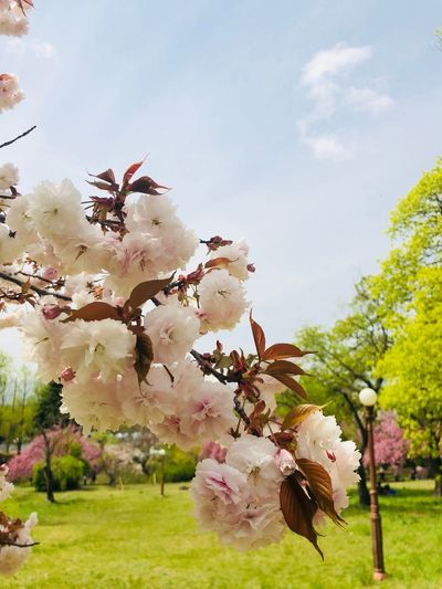 Plant Tree Growth Sky Nature Fragility Flower Blossom Day Cloud - Sky Springtime Beauty In Nature Flowering Plant