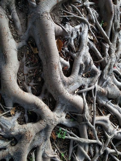 Ficus Tree roots Botanic Ficus Benjamina Ficus Tree Gray Color Grey Color Matting Nature Network No People Nobody Outdoors Plant Roots Soil South SPAIN Spreading Tangle Tree Trunk Tropical Climate Weeping Fig Wood Wooden