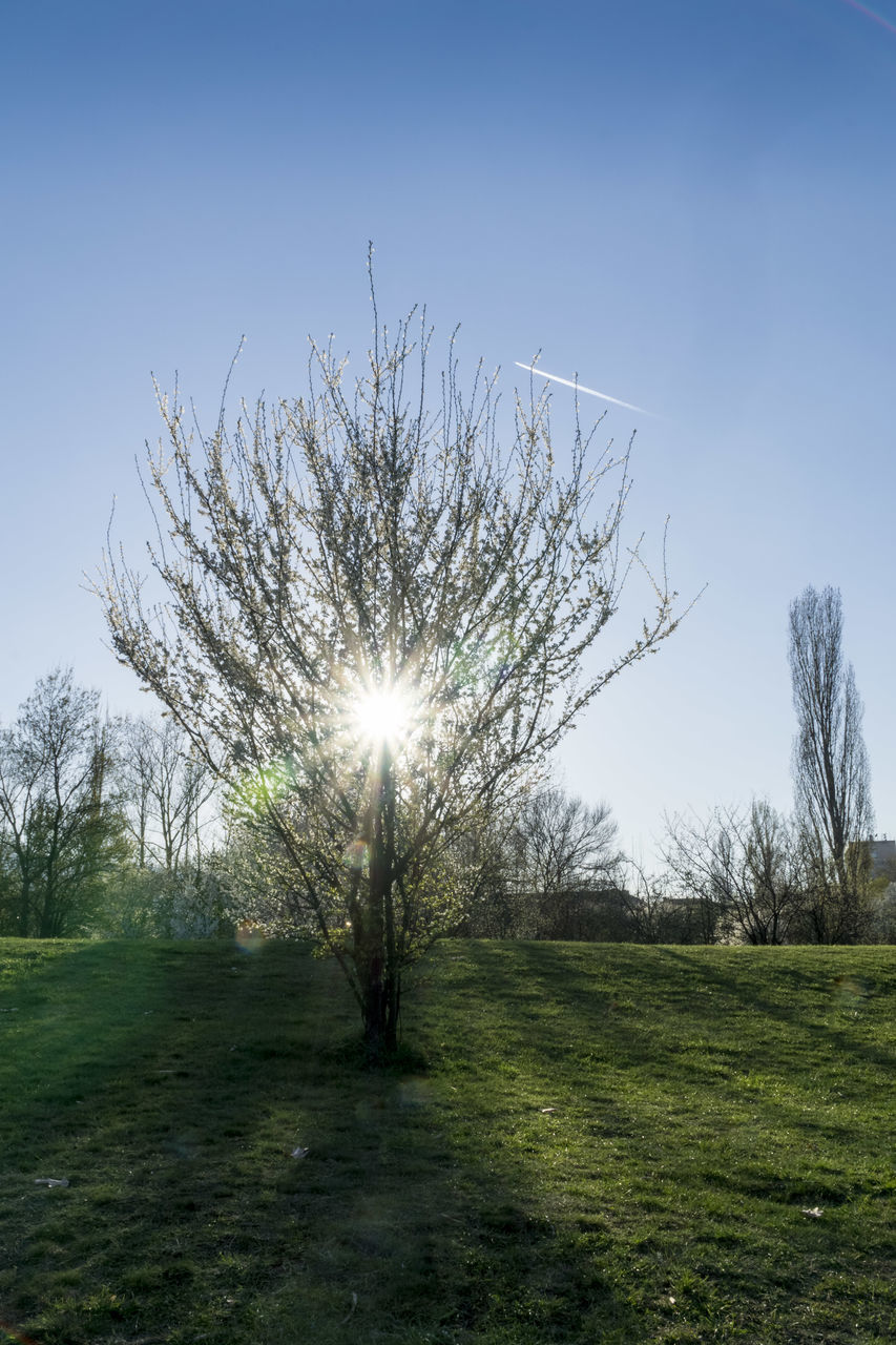 tree, grass, nature, field, clear sky, tranquility, sun, sunlight, beauty in nature, tranquil scene, outdoors, no people, landscape, growth, day, sky