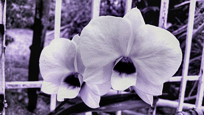 Orchid Beauty In Nature Nature Close-up Black And White St Croix USVI