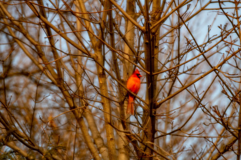 Bird Vertebrate Animal Themes Animal Perching Cardinal - Bird Tree Branch Animal Wildlife One Animal Bare Tree Animals In The Wild No People Plant Red Nature Day Selective Focus Outdoors Beauty In Nature