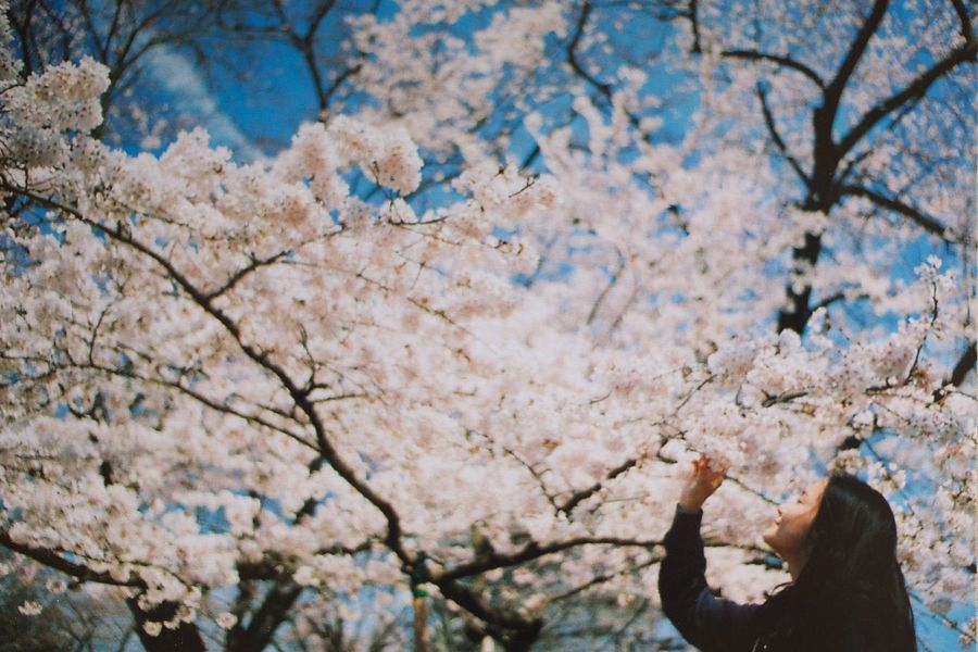 Beauty In Nature Cherry Blossoms Colorful EyeEm Best Shots Film Film Photography Fiowers Japan Nature OneDay. Portrait Sakura Spring The Portraitist - 2017 EyeEm Awards The Portraitist - 2017 EyeEm Awards