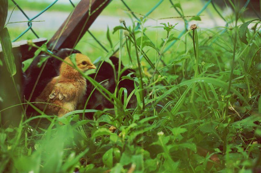 Littlechicken Malaysia Sonyphotography Sonynex5t Sel55210 Animals Adoreable Sonyalpha
