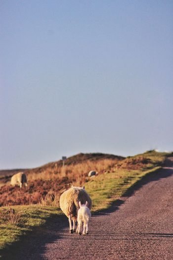 Sheep And Lamb On Roadside Against Clear Sky