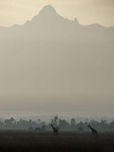Giraffes Walking On Field Against Mountains