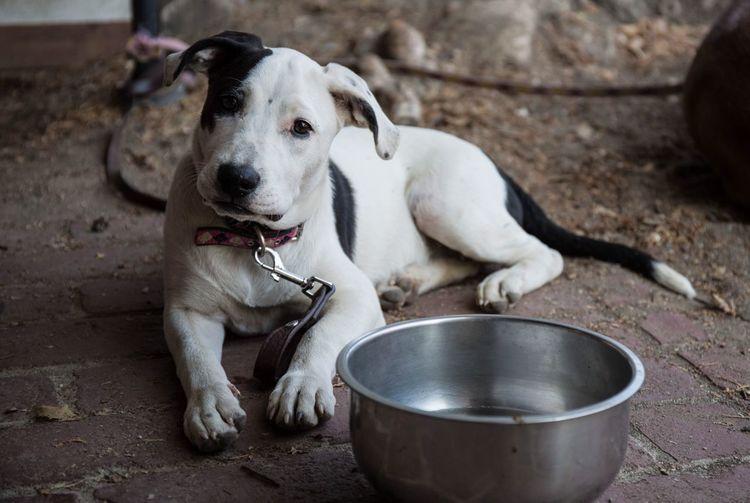 Portrait Of Puppy Lying By Bowl In Back Yard