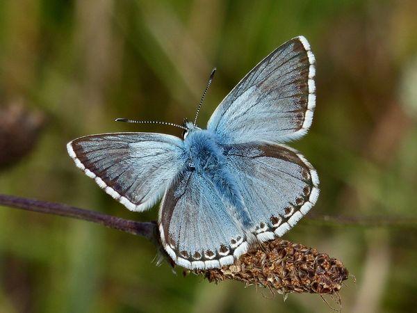 A chalk hill blue butterfly enjoying warm July sunshine near Birling Gap, East Sussex - 2017. Birling Gap Blue Butterfly Chalk Hill Blue Chalk Hill Blue Butterfly East Sussex Eastbourne England, UK Insect