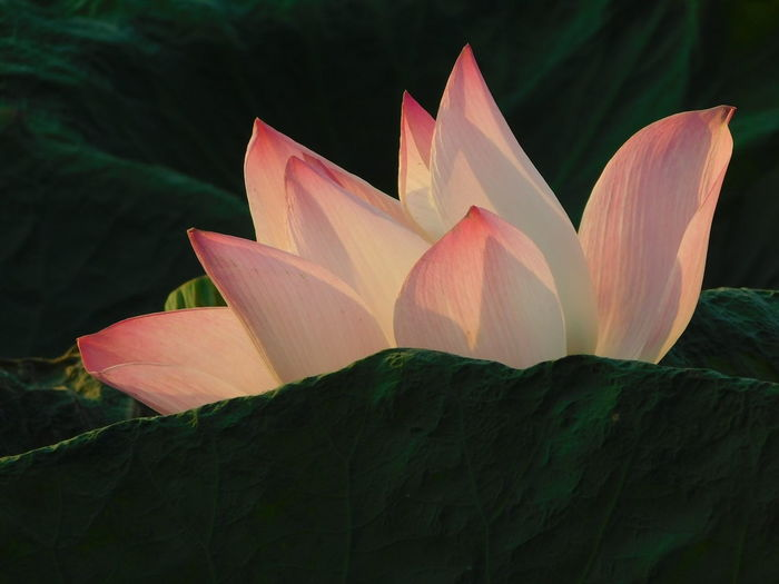 Part of pink lotus in the swamp Beauty In Nature Plant Close-up Flower Petal Flowering Plant Growth Freshness Nature No People Leaf Plant Part Day Outdoors Flower Head Focus On Foreground Lotus Water Lily Fragility Inflorescence Pink Color Green Swmp Buddha Flowers Art Nature