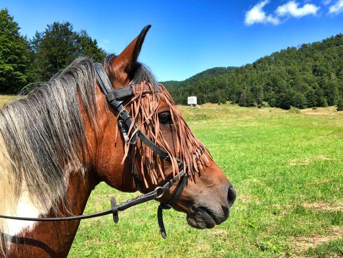 Horse Horse