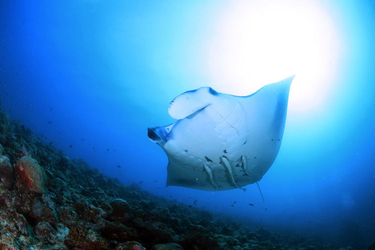 Blue Sea Maldives Animals In The Wild Beauty In Nature Fish Mantaray Nature Outdoors Scuba Diving Sea Sea Life UnderSea Underwater underwater photography Water