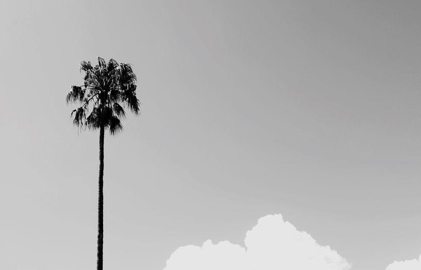 Daring Simple Simplicity Sydney Blackandwhitephotography EyeEm Selects Palm Tree Nature Tree Sky No People Outdoors Low Angle View Clear Sky