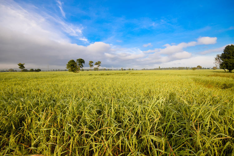 Famer Field Land Landscape Cloud - Sky Plant Sky Environment Agriculture Beauty In Nature Growth Rural Scene Tranquil Scene Scenics - Nature Tranquility Nature Crop  Green Color Cereal Plant Farm No People Outdoors Rice Field Famer