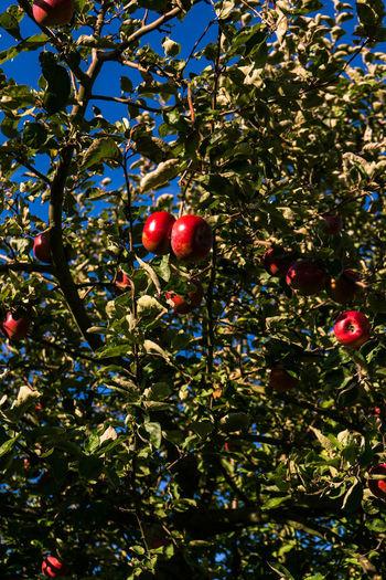 Ripe apples on