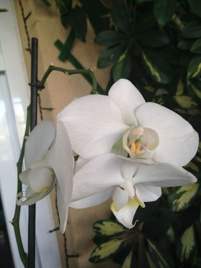 Flower Flower Head Fragility Freshness More Orchids Nature No People Petal Plant White Color