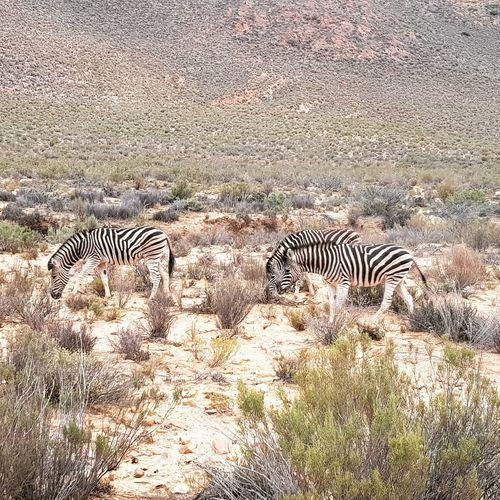 Zebras Aquila Game Reserve Aquila Private Gamereserve Zebra Leopard Safari Animals Animal Markings Striped Animal Themes