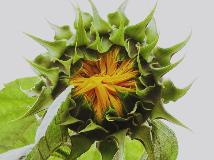 Flower Green Color Petal Freshness Beauty In Nature Nature Leaf Flower Head Fragility Growth Plant Springtime Close-up No People Outdoors Sunflower Sunflower Head Day EyeEm Nature Lover EyeEm Gallery