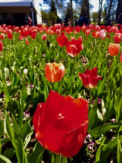 Australia Canberra City Floriade Canberra Flower Flowers Garden Red Tulips🌷