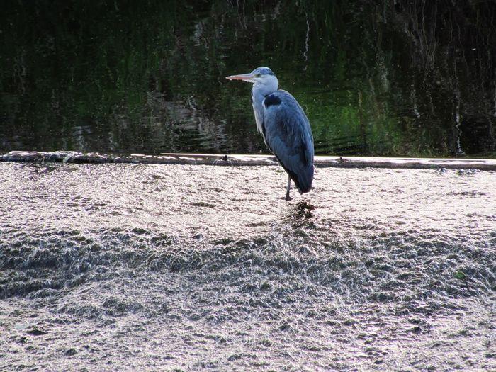 River Wansbeck Morpeth Northumberland Bird Perching Water Animal Themes Gray Heron Heron