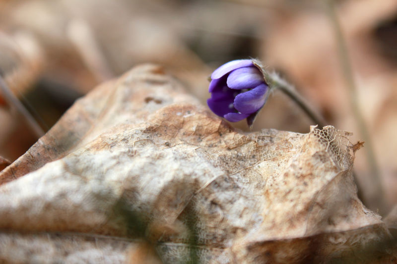 Spring is coming! Beauty In Nature Close-up Day Dry Leafs Flower Flower Head Fragility Hepatica Kevät Kukka Leafs Nature No People Nuppu Outdoors Petal Purple Sinivuokko Spring