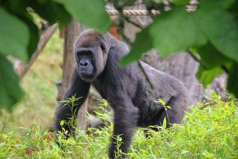 Portrait of gorilla  in field