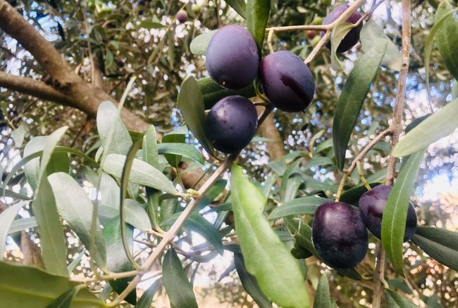 Ripe olives on branch Fruit Healthy Eating Food Food And Drink Plant Growth Tree Leaf Plant Part Green Color Branch Close-up Nature Ripe Olive