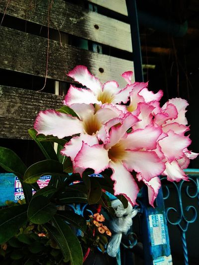 White, pink