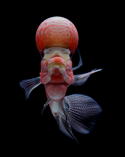 Close-up of flowerhorn cichlid swimming against black background