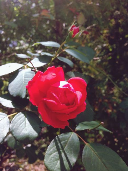 """ Seoul GangseoCampus "" 가을인데.. 가을에도 장미가 피나? Roses .. The rose blooms in the fall... Taking Photos , Flowers"