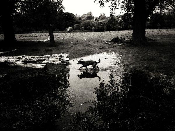 I Love My Dog Lurcher Sighthound LEO... The One Eyed Lurcher... Pet Portraits
