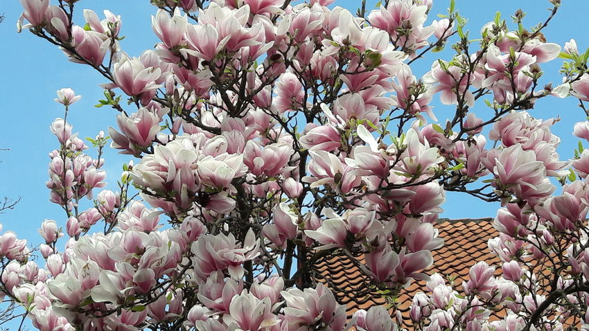 Springtime💛 Exploding Nature Beauty In Nature For My Friends 😍😘🎁 Simple Beauty Looking Up😍 Flower Pink Color Millennial Pink Best Things In Ife Are Free Enjoy The Little Things Growth Enjoyinglife