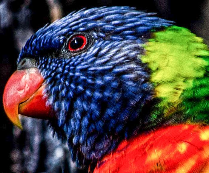 Australia Nature Wildlife & Nature Wildlife Photography Animal Themes Animal Wildlife Bird Nature Rainbowlorikeet Wildlife