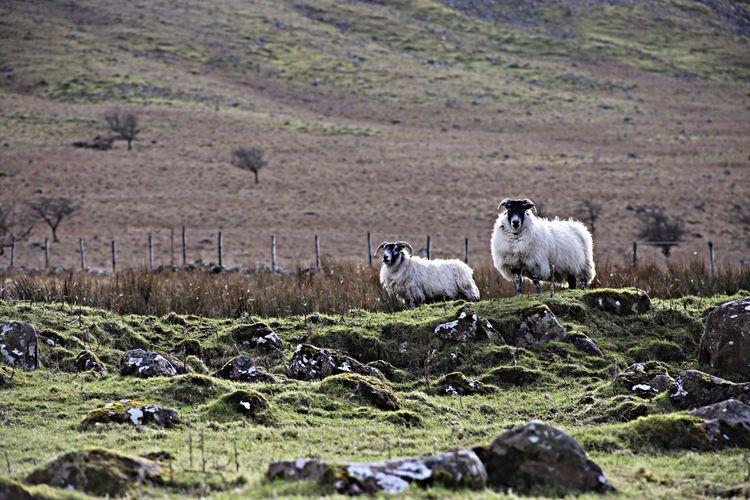 Benbradagh sheep Sheep animals Animals