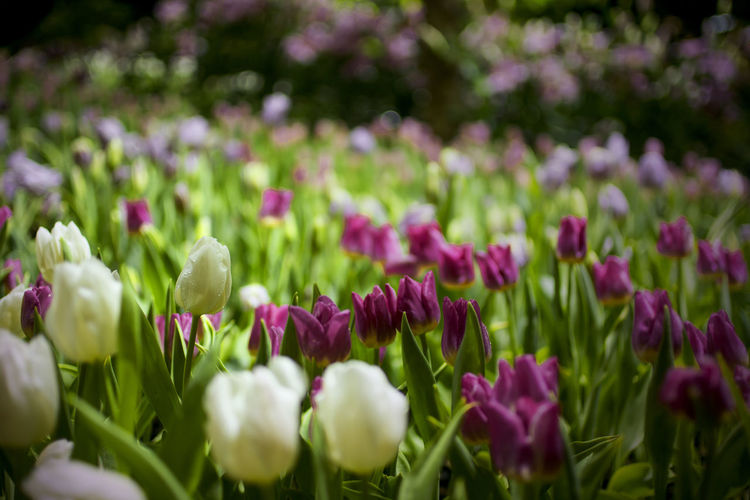 White and purple tulip flowers on a flowerbed with blurred background of green leaves and tulips garden and bokeh of light int he night, low key of flowers scene Green Light Low Key Nature Scenic Tulips Bokeh Botany Field Flowerbed Flowers Freshness Garden Growth Land Leaves Nature Night No People Purple White