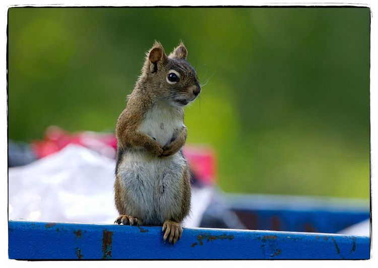 Dumpster diving squirrel. Squirrel One Animal Nature Outdoors Hand Of Man Canon Photography Project 365