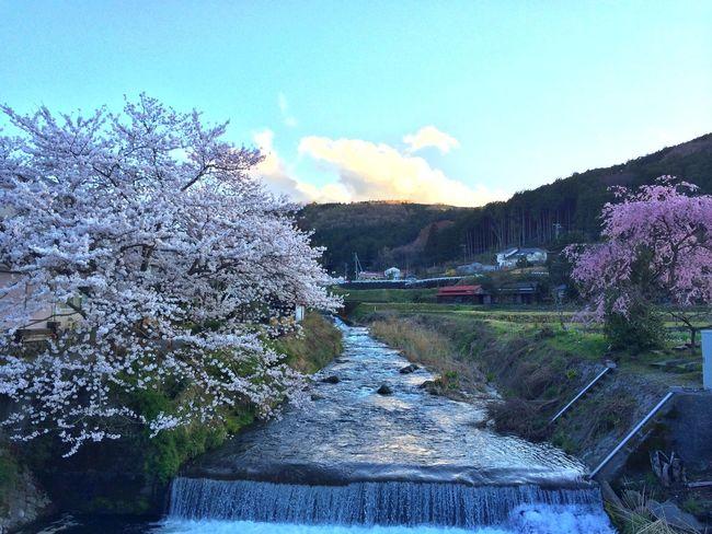 Flowerporn EyeEm Nature Lover Sakura Twilight