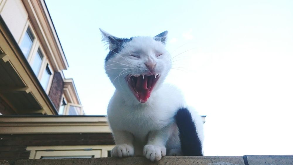 Yawning Cat Bored and Sleepy in Netherlands Catoftheday Painintheass Personality  Beautyqueen