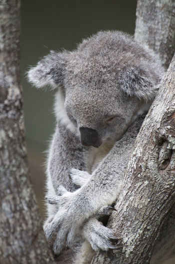 Close up of a sleeping koala on a eucalyptus tree at the daisy hill koala center in brisbane