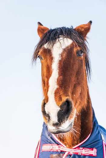 A portrait of a horse dressed in a blue rug - a covering that protects the horse from the cold.