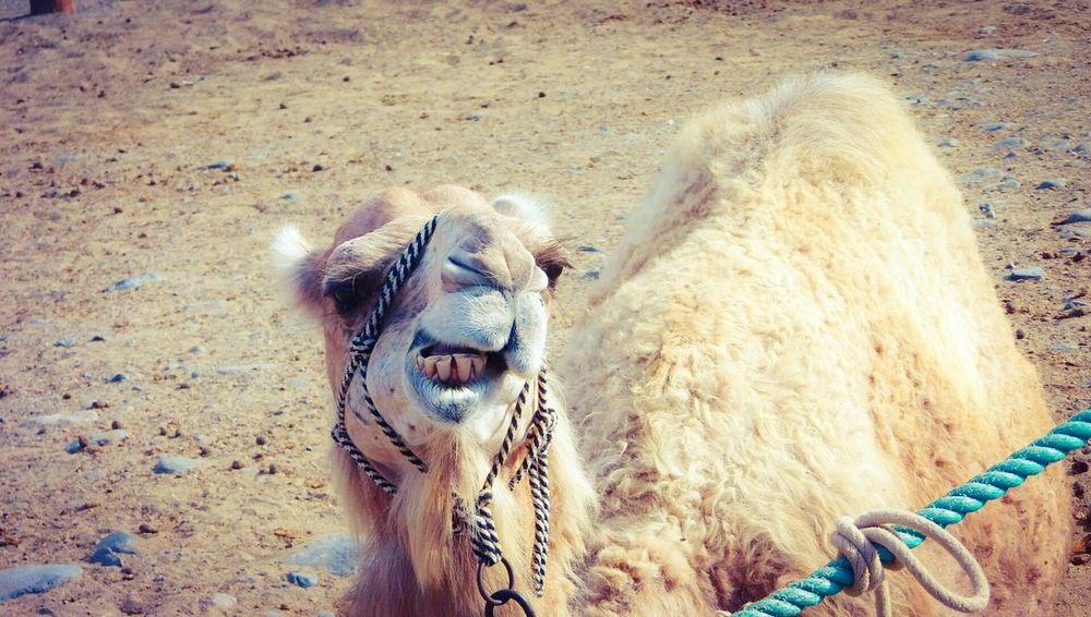 C amel face Camel Camello Camel Fair