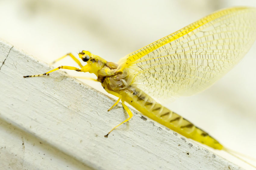 Bright yellow mayfly - Hexagenia Close-up Crawling Extreme Close-up Hexagenia Insect Insect Photography Insects  Macro Macro Beauty Macro Insects Macro Nature Macro Photography Macro_collection Mayfly Selective Focus Tilt Vibrant Color Yellow Yellow Color Maximum Closeness