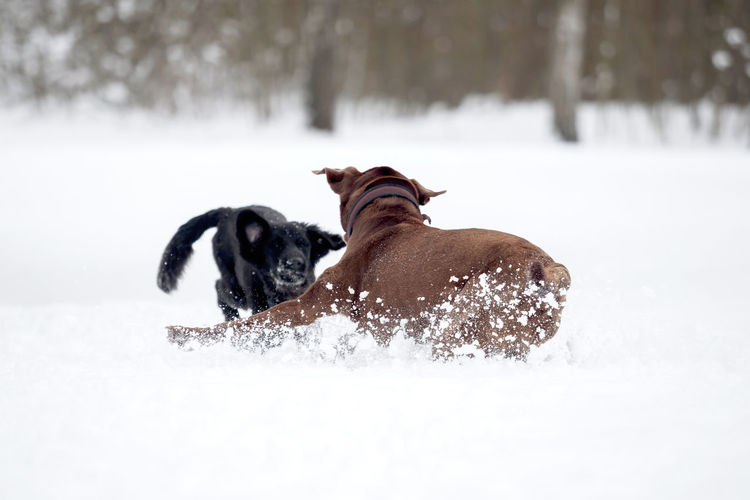 A red-brown Labrador Retriever in the snow Animal Breed Cold Cute Dog Domestic Family Friend Fur Happy Ice Labrador Labrador Retriever Nature Obedient Dog Outside Pet Playful Purebred Retriever Season  Snow White Winter Canine Pets Domestic Animals Vertebrate Mammal Animal Themes Cold Temperature One Animal Field Land No People Day