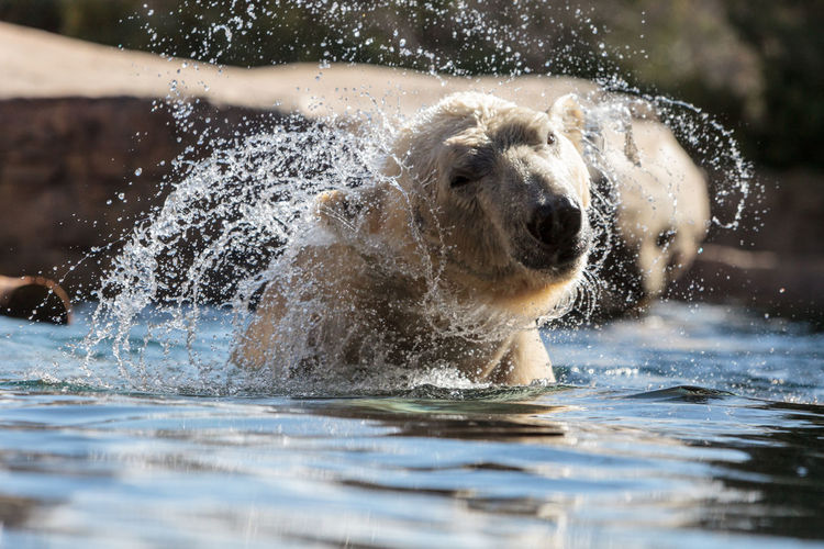Polar bear shaking off water while swimming in lake