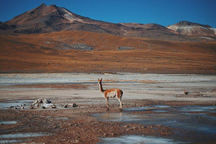 Alpaca Atacama Atacama Desert Blue Chile Desert Sky Sun Sunlight Vicuña